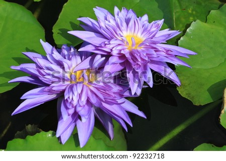 Twin purple waterlily is blooming with soft sunlight - stock photo