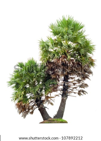 Twin sugar palm isolated on white - stock photo