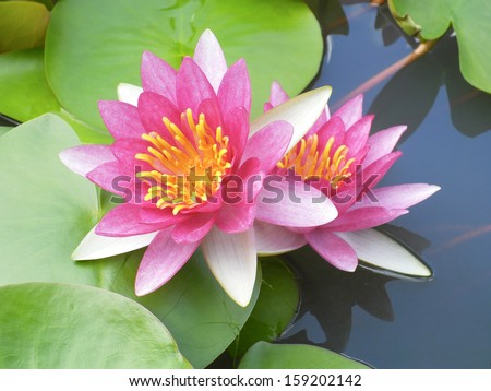Twins water lily flowers - stock photo
