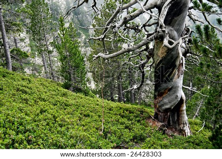 Twisted tree in the Pyrenees - Spain