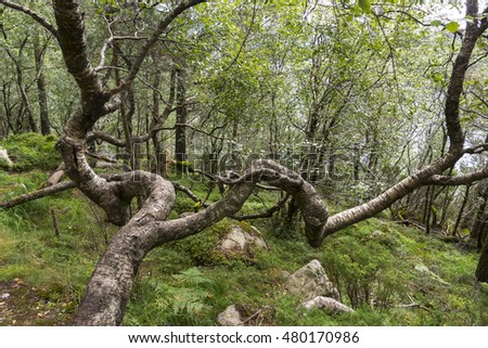twisted tree on the path to Preikestolen in Norway