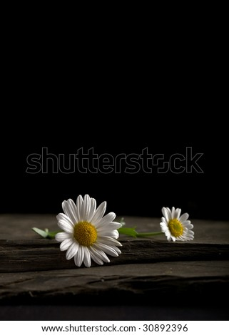 Two abandoned White Daisies left on a Slate slab