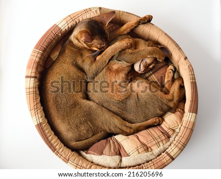 two Abyssinian kitten sleeping in the couch - stock photo