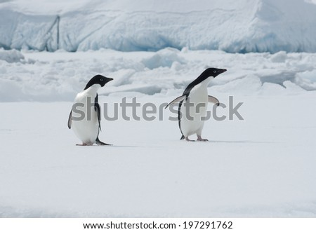 Two Adelie penguins on an ice floe on the background of the iceberg.