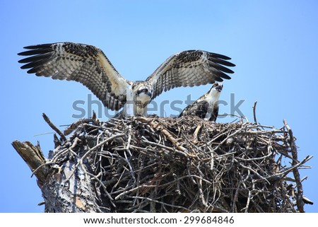 Two Adolescent Osprey Test Their Wings in Their Nest - stock photo