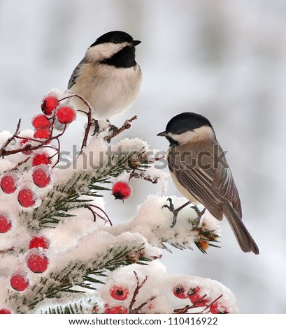 Two adorable Black- capped Chickadees (Poecile atricapillus) on a festive spruce bough. - stock photo