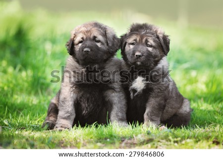 two adorable caucasian shepherd puppies - stock photo