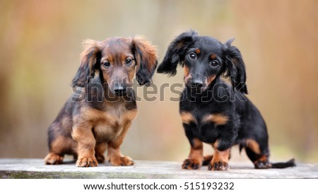 two adorable dachshund puppies outdoors