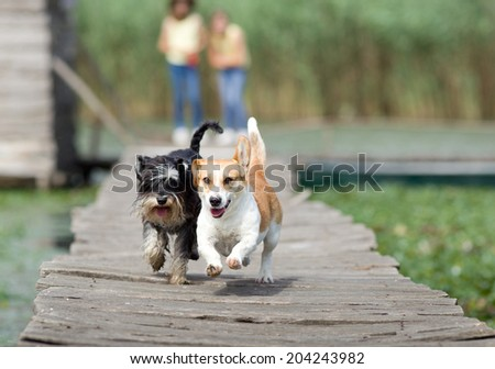 Two adorable dogs running on wooden dock - stock photo