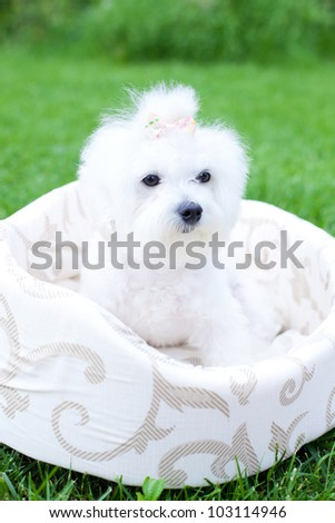 Two adorable dogs sitting in the bag, focus on chihuahua - stock photo