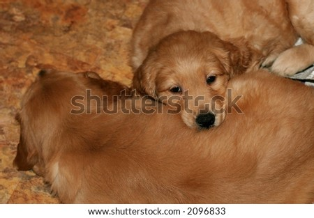 two adorable golden retriever puppies - stock photo