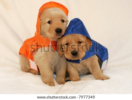 two adorable golden retriever puppies in raincoats - stock photo