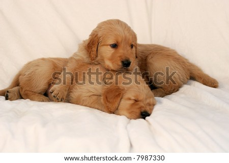 two adorable golden retriever puppies, one sleeping, one laying on the other