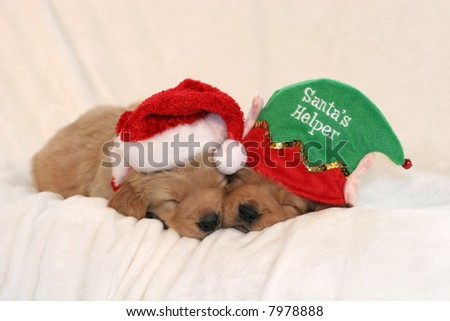 two adorable golden retriever puppies with santa hat and santa's helper hat - stock photo