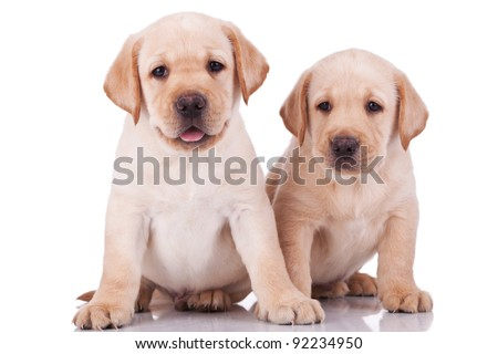 two adorable little labrador retriever puppies, panting on white background - stock photo