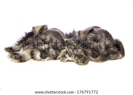 Two Adorable Miniature Schnauzer puppies lying down asleep isolated on white background - stock photo