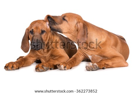 two adorable puppies on white - stock photo