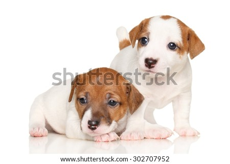 Two adorable puppy Jack Russell on a white background