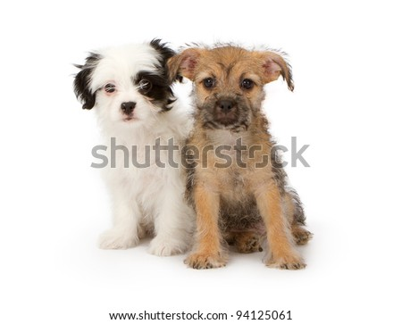 Two adorable small eight week old puppies in front of a white background looking at the camera - stock photo