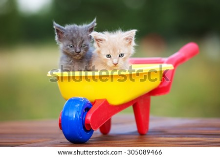two adorable tiny maine coon kittens - stock photo