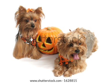 Two adorable yorkies dressed up for Halloween, posing with a jack-o-lantern.  Focus on the face of the forward dog (the one on the right) - stock photo