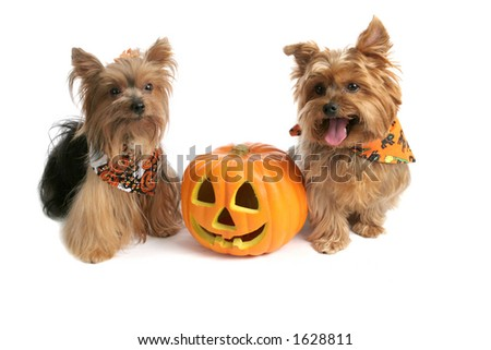 Two adorable yorkies with a halloween jack-o-lantern.  Isolated on white. - stock photo