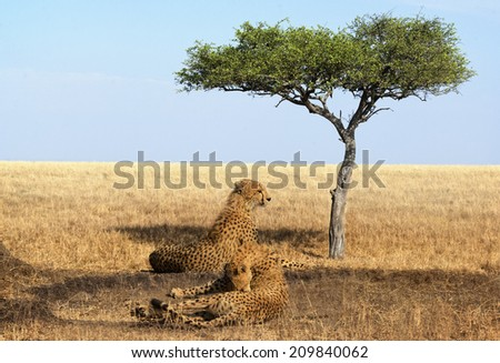 Two adult cheetahs resting in shadow, Masai Mara National Reserve, Kenya, East Africa - stock photo