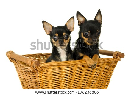 Two adult chihuahua dog sitting in a basket - stock photo