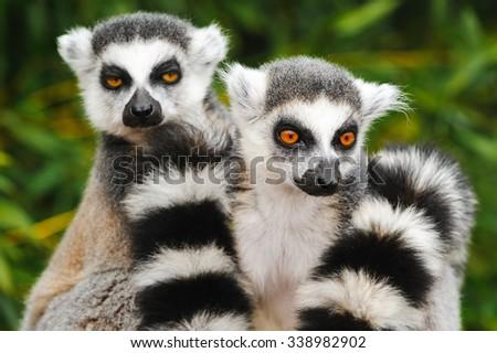 Two adult lemur katta (Lemur catta) - stock photo