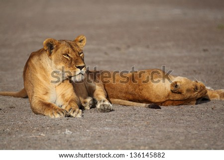 Two adult lioness resting on brownish sand