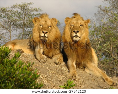 Two adult male Lions survey their kingdom - stock photo