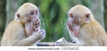 Two adult monkey talking and thinking in discussion. - stock photo