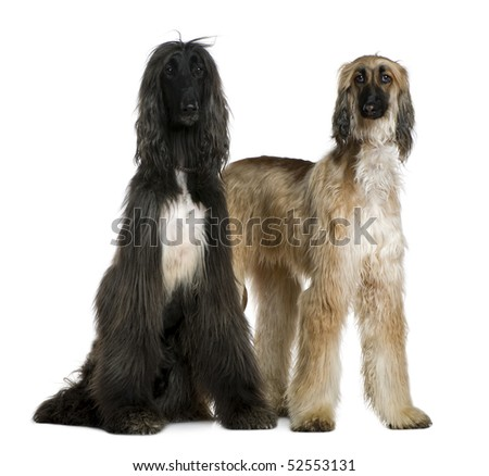 Two Afghan hounds, 1 and 2 years old, in front of white background - stock photo