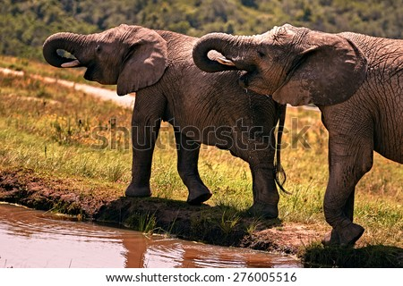 Two african elephants drinking water at the same time from their local water supply