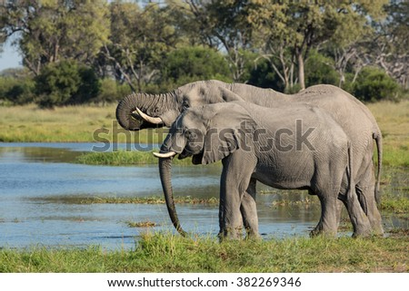 Two african Elephants drinking water in Etosha National Park in Namibia - stock photo