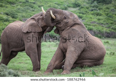 Two african elephants playing in the green field of Schotia safaris. - stock photo