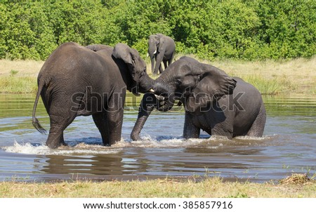 Two African Elephants playing in water in Khwai Reserve in Botswana - stock photo