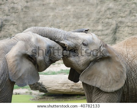 two African elephants testing each others strength - stock photo