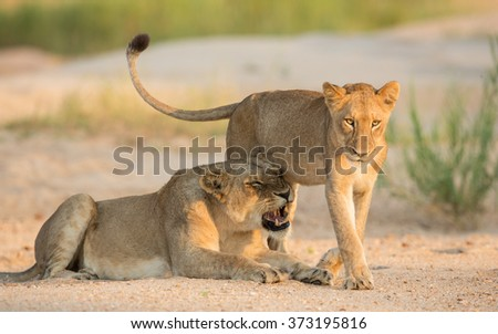 Two African lions in riverbed in Kruger Park South Africa - stock photo