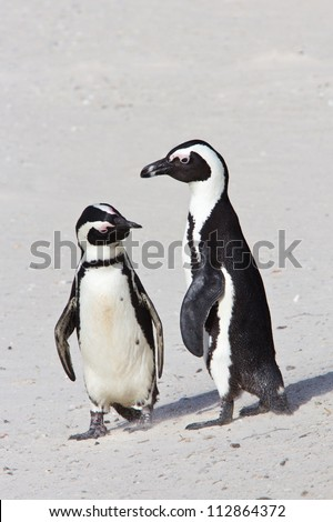 Two African penguins standing on the beach, checking each other out