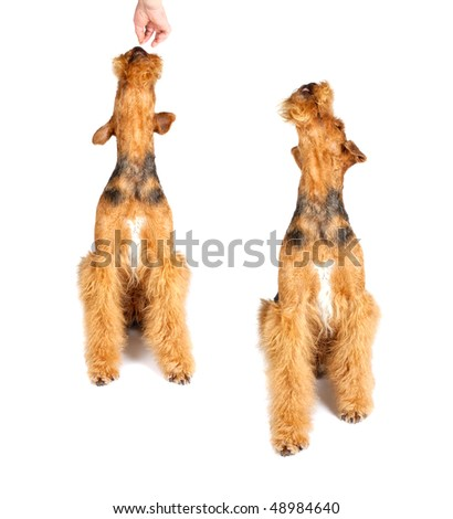 two airedale  looking up on white background - stock photo