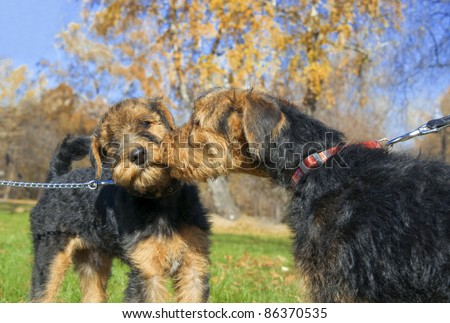 Two Airedale Puppy Close-up in the park - stock photo