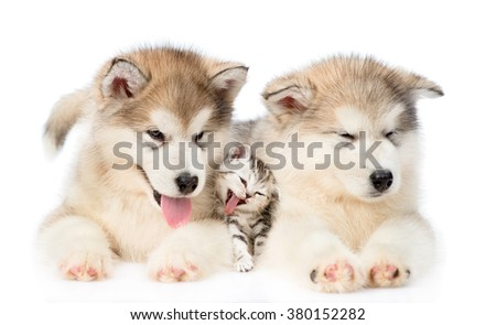 Two Alaskan malamute puppies lying with tiny kitten. isolated on white background. - stock photo