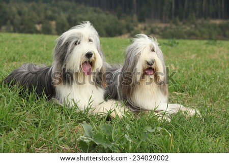 Two amazing bearded collies lying in the grass in later summer - stock photo