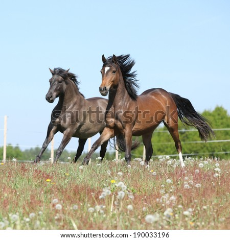 Two amazing horses running together on spring pasturage - stock photo