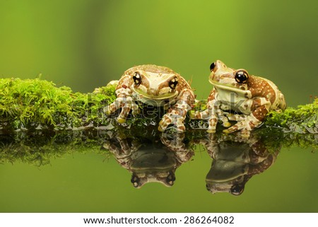 Two Amazon Milk frog reflections in pond - stock photo