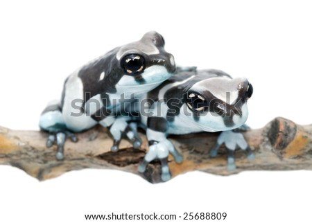 two amazon milk frogs on a white background - stock photo