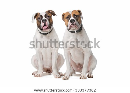 two American Bulldogs sitting in front of a white background