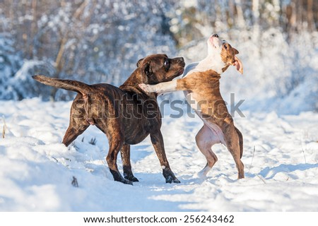 Two american staffordshire terrier dogs playing in winter - stock photo