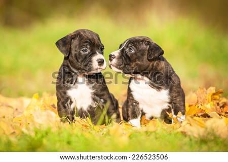 Two american staffordshire terrier puppies sitting on the leaves in autumn - stock photo